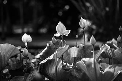 Lotuses In The Pond. Black And White Art Print by Jenny Rainbow