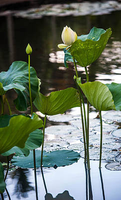 Lotuses In The Pond Art Print