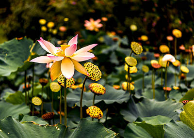 Lily Pond Photograph - Lotuses by Jon Woodhams