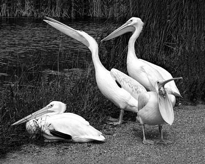 Breeder Photograph - Loud Mouth - Pelicans - Black And White by Nikolyn McDonald