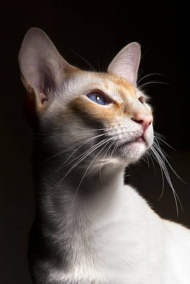 Cat Photograph - Louie by Samuel Whitton