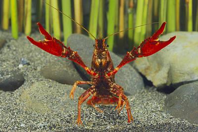 Crawfish Photograph - Louisiana Crayfish In Defensive Posture by Shigek Iimura