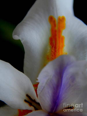Photograph - Louisiana Iris by Michael Hoard