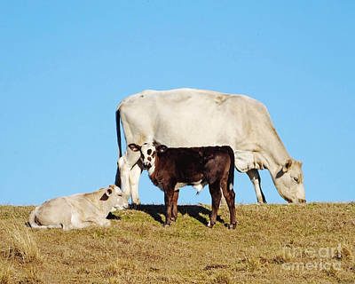 Photograph - Louisiana Levee Cows by Lizi Beard-Ward