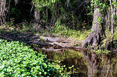 Photograph - Louisiana Swamp Gator by Kathleen K Parker