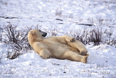 Photograph - Lounging Bear by Randy Green