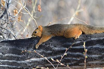 Photograph - Lounging Fox Squirrel by Rae Ann  M Garrett