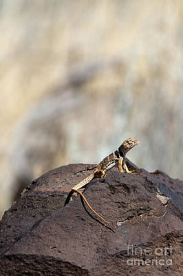 Photograph - Lounging Lizard by Martha Marks