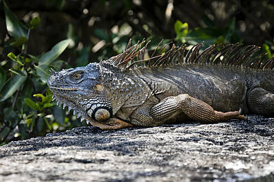 Photograph - Lounging Lizard by Vanessa Valdes