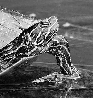 Photograph - Lounging Turtle by Bruce Bley