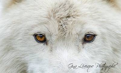 Arctic Wolf Original by Gina Levesque