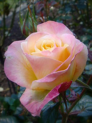 Photograph - Love And Peace Rose by Mr Photojimsf