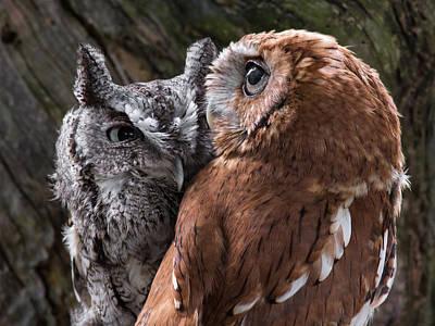 Screech Owl Photograph - Love Birds by Dale Kincaid