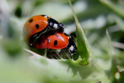 Photograph - Love Bugs by Trent Mallett