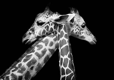 Zoo Animal Wall Art - Photograph - Love by David Williams