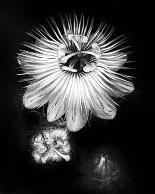 Photograph - Love-in-a-mist 3 by Patrick M Lynch