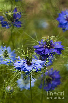 Love In A Mist Art Print by Anne Gilbert