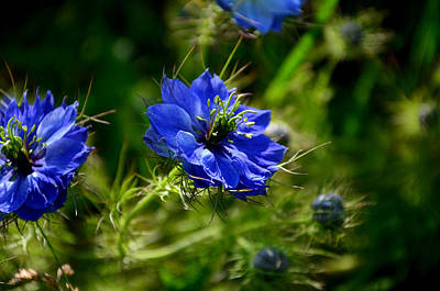 Photograph - Love In A Mist by Barbara Walsh