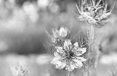 Charming Cottage Photograph - Love In A Mist by Caitlyn  Grasso