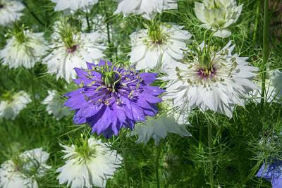 Love-in-a-mist Photograph - Love-in-a-mist Flowers, Usa by Lisa S. Engelbrecht