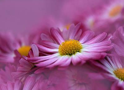 Daisy Photograph - Love In Every Petal by Georgiana Romanovna
