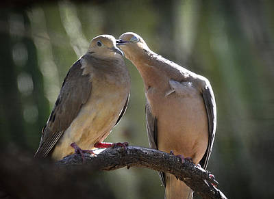 Mourning Dove Photograph - Love Is In The Air  by Saija  Lehtonen