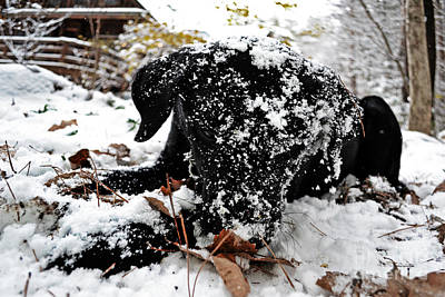 Outdoors Photograph - Love Lab Snow 4 by Vin Kitayama