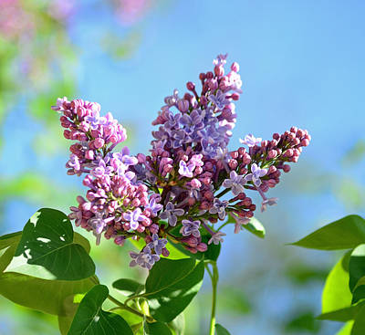 Photograph - Love My Lilacs by Lori Tambakis
