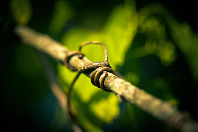 Vines Photograph - Love Takes Hold by Shane Holsclaw