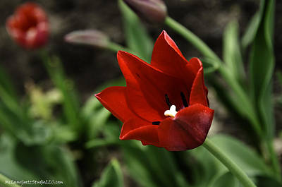 Photograph - Love Tulip Time by LeeAnn McLaneGoetz McLaneGoetzStudioLLCcom