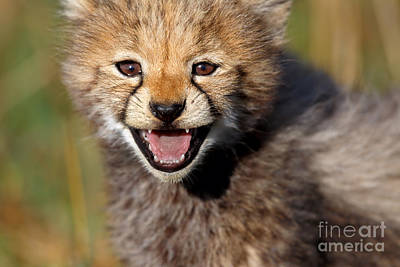 Photograph - Loveable Portrait Of A Seven Weeks Old Cheetah Cub by Maggy Meyer