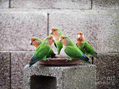Rosy-faced Lovebird Photograph - Lovebirds by Rhea Winscom