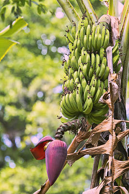 Photograph - Lovely Bunch Of Bananas by Peggy Collins