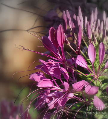 Photograph - Lovely Cleome by France Laliberte