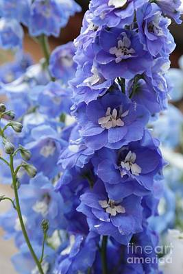 Photograph - Blue Delphinium by Carol Groenen