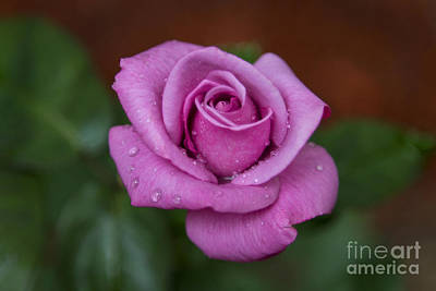 Photograph - Lovely In Lavender by Michael Waters
