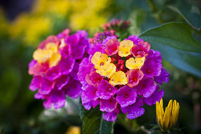 Rights Managed Images - Lovely Lantana Royalty-Free Image by Christi Kraft