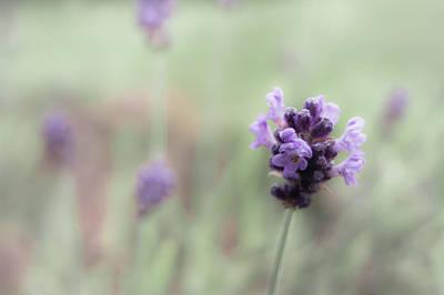 Photograph - Lovely Lavender by Jen Baptist