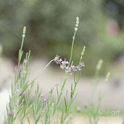 Photograph - Lovely Lavender by Kay Pickens