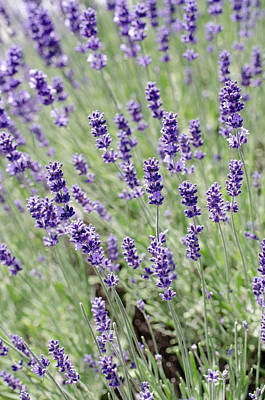 Photograph - Lovely Lavender by Teri Schuster