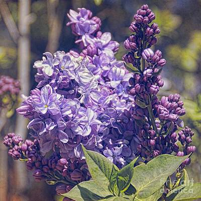Digital Art - Lovely Lilacs by Peggy Hughes