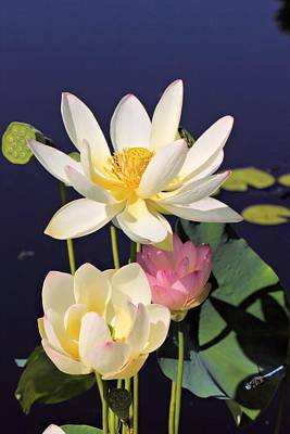 Photograph - Lovely Lotus by Katherine White