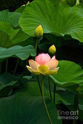 Photograph - Lovely Lotus Tall View by Byron Varvarigos