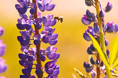 Photograph - Lovely Lupins And Busy Bee by Peggy Collins