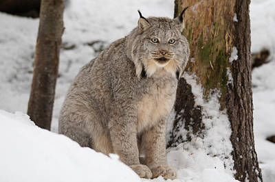 Photograph - Lovely Lynx by David Barker