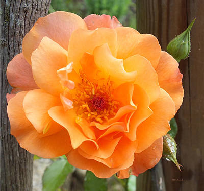 Photograph - Lovely Orange Rose by Duane McCullough