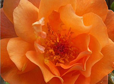 Photograph - Lovely Orange Rose Upclose by Duane McCullough