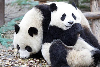 Panda Bears Photograph - Lovely Pandas by King Wu