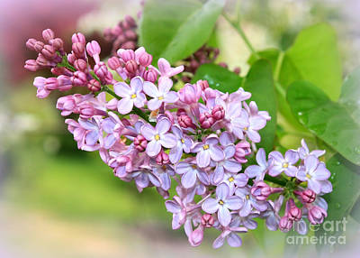 Photograph - Lovely Purple Lilacs by Carol Groenen