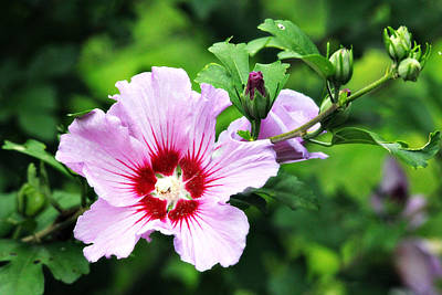 Photograph - Lovely Rose Of Sharon by Trina  Ansel